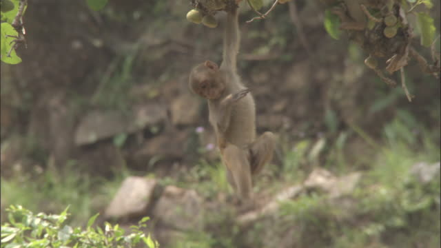 Juvenile Rhesus macaque hangs from tree, Chopta, India Available in HD.