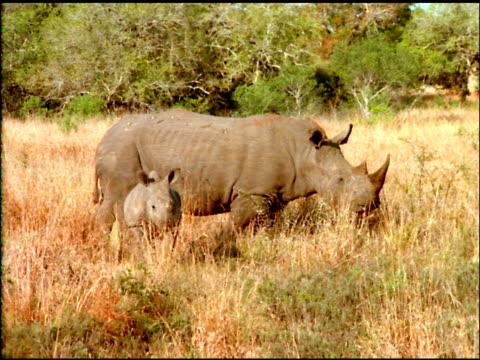 Juvenile rhinoceros with mother in Savannah, Botswana