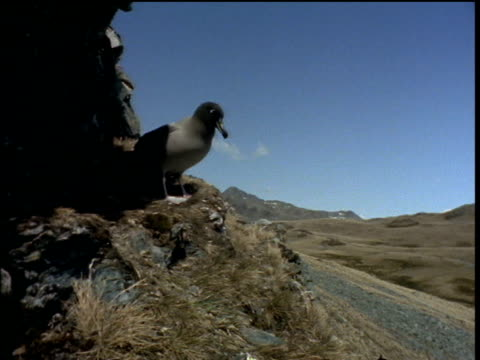 juvenile sooty albatross takes off against backdrop of mountains and blue sky, albatross island - sea bird stock videos and b-roll footage