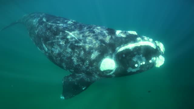 vídeos de stock e filmes b-roll de juvenile southern right whale swims in front of the camera, nuevo gulf, valdes peninsula. - um animal