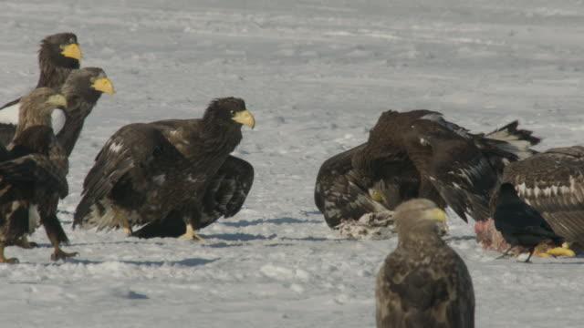 juvenile steller's sea eagle (haliaeetus pelagicus) stalks towards another feeding on carcass. japan - 翼を広げる点の映像素材/bロール