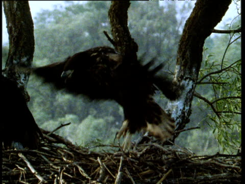 juvenile white tailed sea eagle flaps wings and jumps up and down on nest in attempt to fly, russia - agility stock videos and b-roll footage
