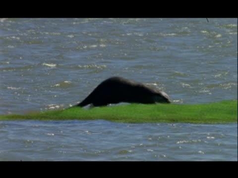 kabini island 2 - otters, group (7) asleep, defecating, rolling, swimming, sunlit water. crocodile. kingfisher - 巻く点の映像素材/bロール