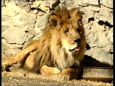 kabul zoo lion 'marjan' dies; afghanistan: kabul: kabul zoo: ext marjan the lion sitting in enclosure mss marjan licking lump of meat tx... - enclosure stock videos & royalty-free footage