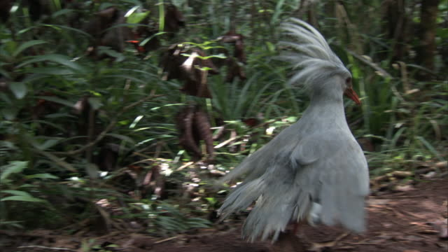 kagu (rhynochetos jubatus) displays crest in forest, new caledonia - animal's crest stock videos and b-roll footage