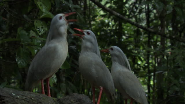stockvideo's en b-roll-footage met kagu (rhynochetos jubatus) family calls in forest, new caledonia - drie dieren