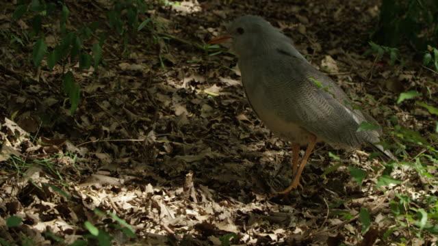 kagu on the forest floor. - dappled light stock videos and b-roll footage