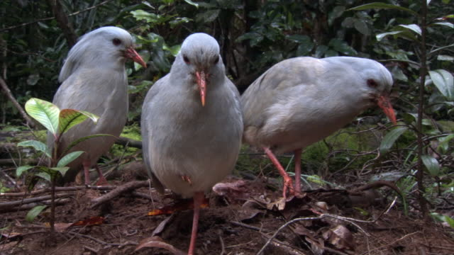kagus (rhynochetos jubatus) stand motionless until one leaves, new caledonia - bizarre stock videos & royalty-free footage