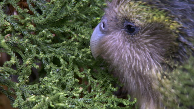 Image result for rimu tree and kakapo