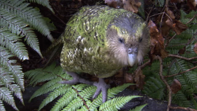 kakapo (strigops habroptilus) in undergrowth, codfish island, new zealand - tree area stock videos & royalty-free footage