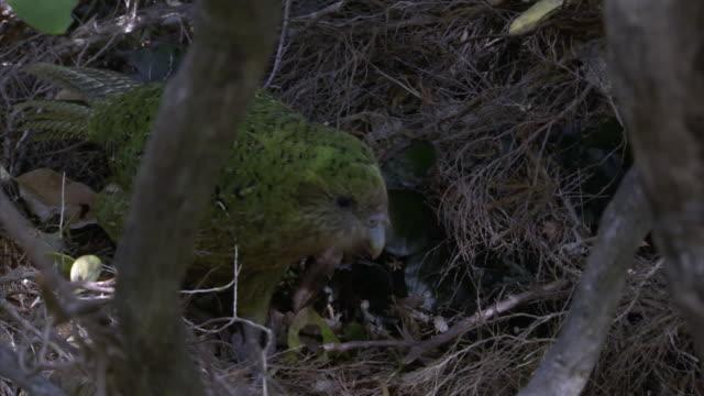kakapo (strigops habroptilus) on forest floor, codfish island, new zealand - day stock videos & royalty-free footage