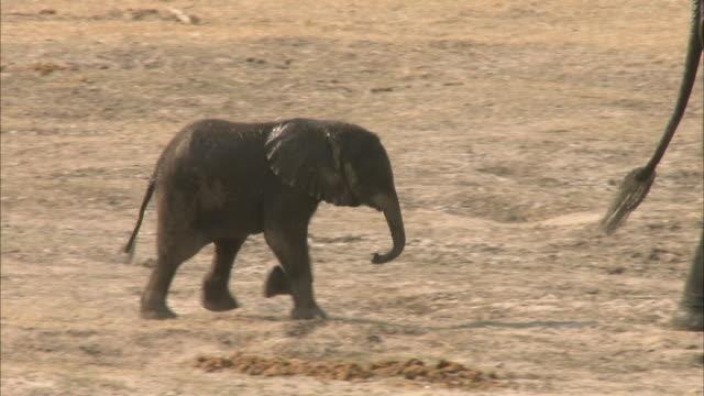 stockvideo's en b-roll-footage met ms pan kalahari elephant calf running and falling on sand, chobe national park, botswana - olifant