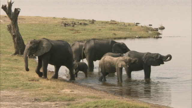 MS ZO Kalahari Elephant herd at waterhole, Chobe National Park, Botswana