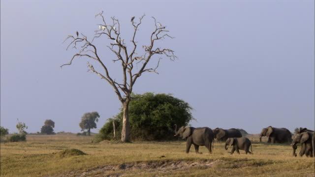 vidéos et rushes de ws kalahari elephant herd crossing field, birds perching on bare tree in background, chobe national park, botswana - jeune animal