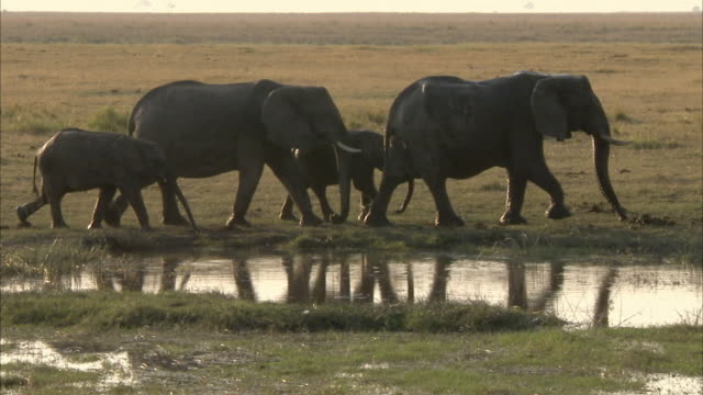 ms pan kalahari elephant herd leaving waterhole, chobe national park, botswana - mittelgroße tiergruppe stock-videos und b-roll-filmmaterial