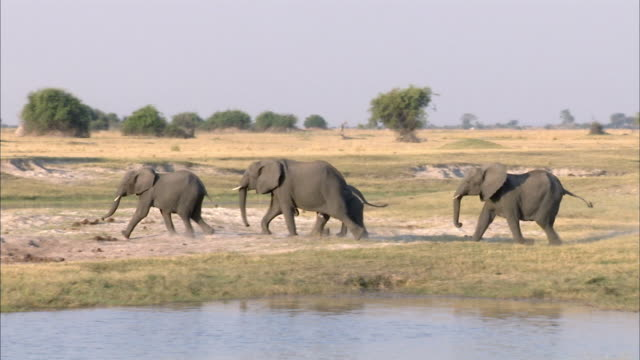 ws pan kalahari elephant herd running, chobe national park, botswana - elephant stock videos & royalty-free footage