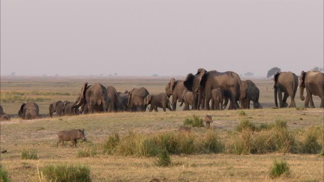 vídeos de stock, filmes e b-roll de ws zi ms kalahari elephant herd walking on field, warthog (phacochoerus africanus) in foreground, chobe national park, botswana - javali africano