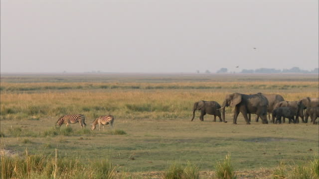 ws kalahari elephant herd walking on field, zebras (equus quagga) grazing in foreground, chobe national park, botswana - herde stock-videos und b-roll-filmmaterial