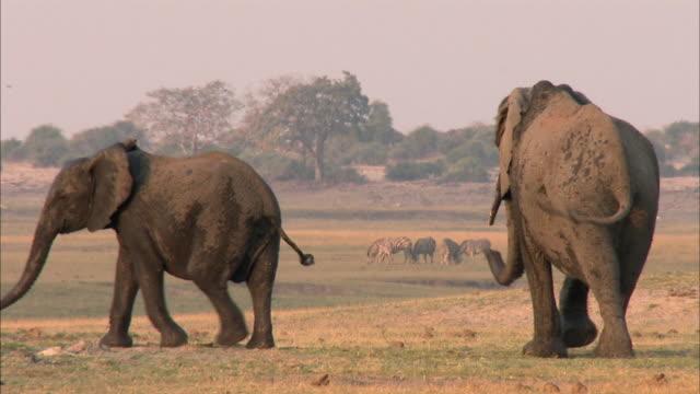 MS Kalahari Elephant herd walking on field, Zebras (Equus quagga) in background, Chobe National Park, Botswana