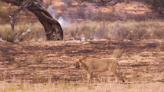 Kalahari Leone