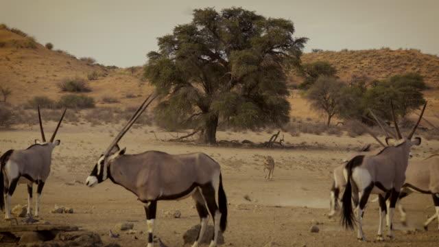 kalahari scenery - antelope stock videos & royalty-free footage
