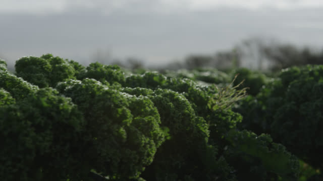 kale growing on vegetable farm, devon, england - kale stock videos and b-roll footage