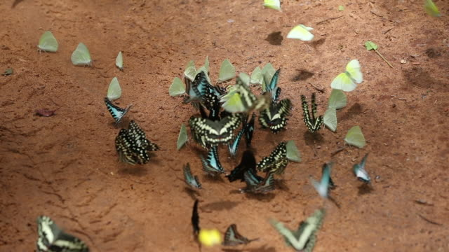 a kaleidoscope of butterflies, madagascar - butterfly insect stock videos & royalty-free footage