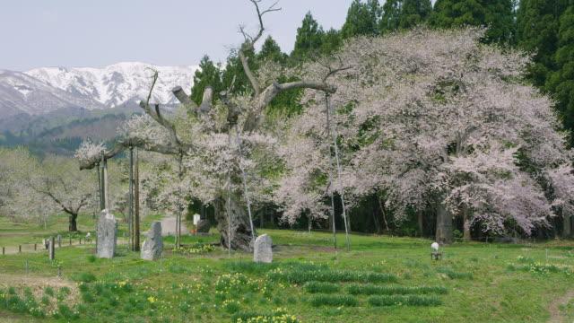 kamanokoshi cherry blossoms and asahi mountain range - mountain range点の映像素材/bロール