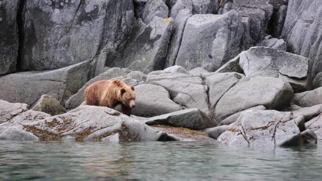 Kamchatka Brown Bear walking along a rocky coastline