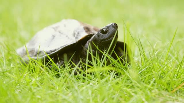 vídeos y material grabado en eventos de stock de tortuga de kame en japón - dermoquélidos