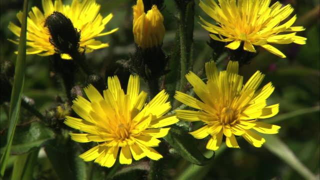 kanchikozorina (picris hieracioides) on rebun island - small group of animals stock videos & royalty-free footage