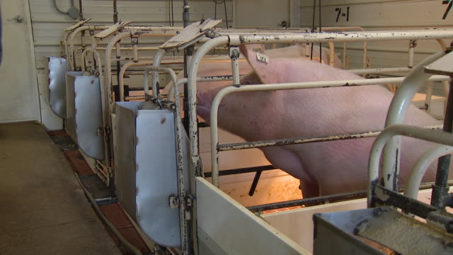 kaneville, il, u.s. - pigs drinking and eating in farrowing barn at gould farms near kaneville in kane county during pork shortage amid covid 19... - pig stock videos & royalty-free footage