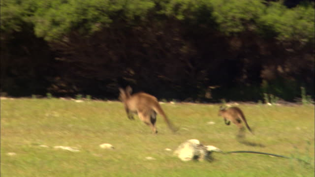 a kangaroo and its joey hop through a grassy field. - カンガルーの子点の映像素材/bロール