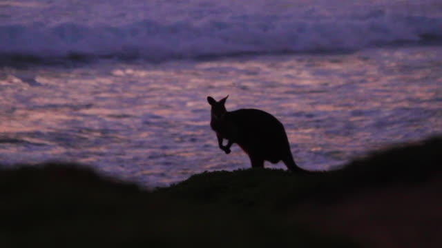 kangaroo beach silhouette - twilight stock videos & royalty-free footage