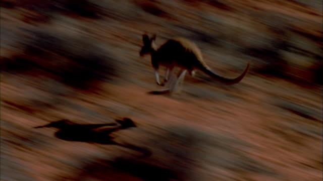 a kangaroo bounds across the australian scrubland. - shrubland stock videos & royalty-free footage