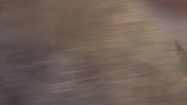 A kangaroo bounds across the desert.