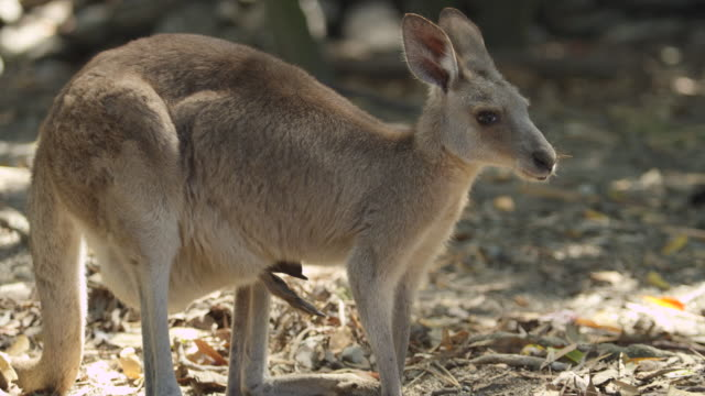 Kangaroo eats while her baby sits in her pouch