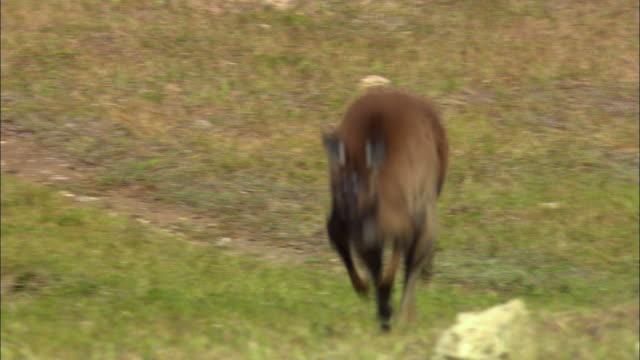 ms, pan, kangaroo hopping across field, australia - カンガルー点の映像素材/bロール