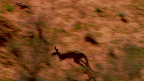 aerial ts kangaroo hopping across open land through trees, simpson desert, northern territory, australia - 有袋類点の映像素材/bロール