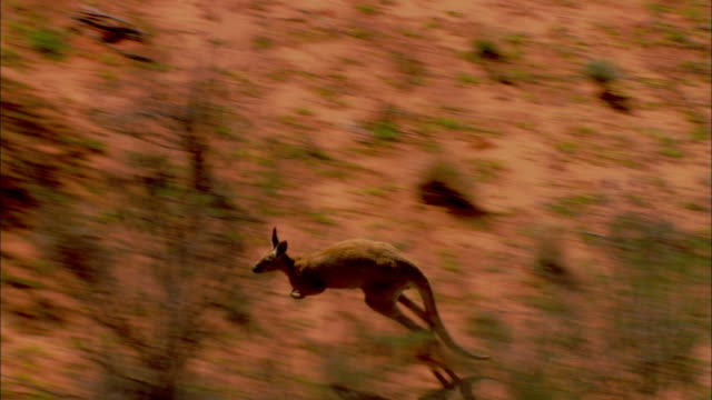 AERIAL TS Kangaroo hopping across open land through trees, Simpson Desert, Northern Territory, Australia