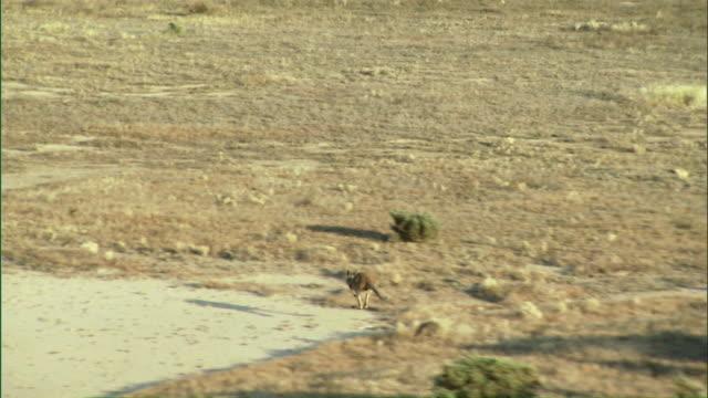 ws ts kangaroo hopping across outback / melbourne, victoria, australia - カンガルー点の映像素材/bロール