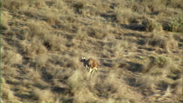 vídeos de stock, filmes e b-roll de ws ts zi zo slo mo kangaroo hopping across outback / melbourne, victoria, australia - victoria austrália