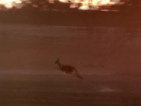 Kangaroo hopping fast across plain Mammal Marsupial