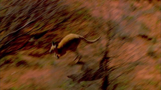 A kangaroo hops past desert shrubs and trees in Australia's Simpson Desert.