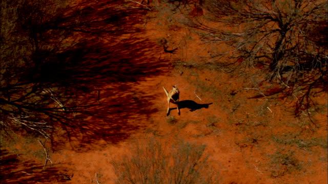a kangaroo hops past trees in australia's simpson desert. - south australia bildbanksvideor och videomaterial från bakom kulisserna