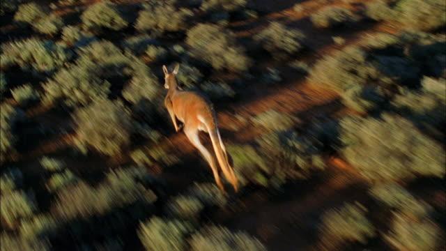a kangaroo hops through a desert in australia. - outback stock videos & royalty-free footage