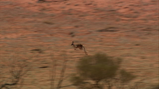 A kangaroo hops through the outback in northern Queensland. Available in HD.