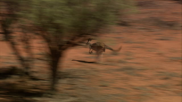 a kangaroo hops through the sparse vegetation of the australian outback in northern queensland. available in hd. - outback stock videos & royalty-free footage