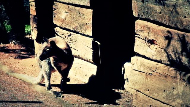 vídeos y material grabado en eventos de stock de kangaroo frente de la cabaña de madera - oreja animal