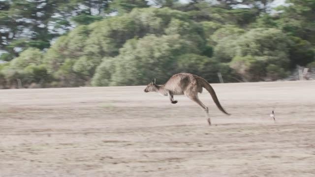 Kangaroo Island Kangaroo jumping